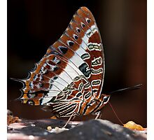 Charaxes brutus natalensis - White Barred Emperor Photographic Print