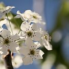 Spring Pear Blossum by Ross Jardine
