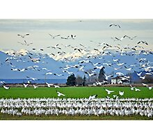 Skagit Valley Snow Geese Photographic Print