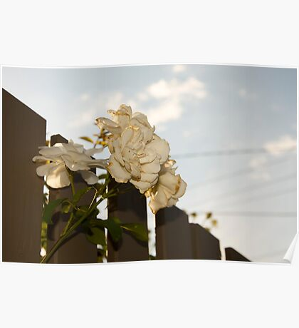 White Roses of Suburbia Poster