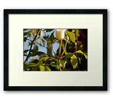 Rose Bud of Suburbia Framed Print
