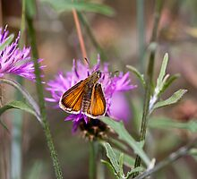 Skipper Butterfly II by Ashley Beolens