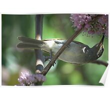 Yellow honey eater Poster