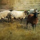 Mount Vernon, Sheep by Bine