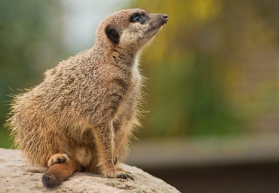 Meerkat by cameraimagery