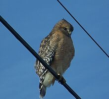 The Red-shouldered Hawk by James Brotherton