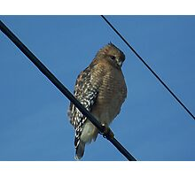 The Red-shouldered Hawk Photographic Print