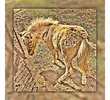Miniature horse foal abstract Photographic Print