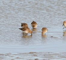 Dunlin feeding on Cunnigar beach by Andrew Jones