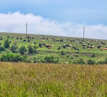 Crazing cows by visfineart