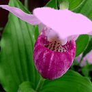 Pink Ladyslipper by Larry Trupp
