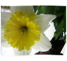 Daffodil horn Poster