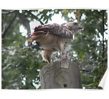 redtail hawk with pigeon underfoot Poster