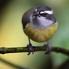 Bananaquit by Jillian Johnston