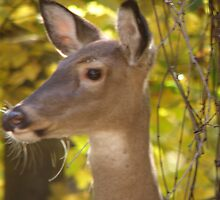 white tail doe whiskers by tuftedtitmouse2