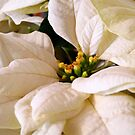 white poinsettia by tego53