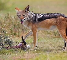 Cool Jackal