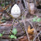 Banded Garden Spider  (Argiope trifasciata) by Kimberly Chadwick