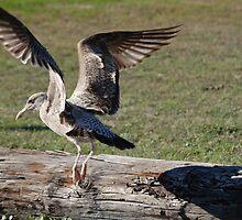 Wintering Herring Gull by zpawpaw