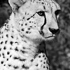 Cheetah by TLCPhotography
