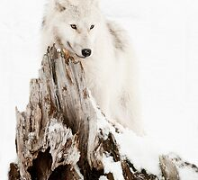 Arctic Wolf Portrait by Bill Maynard
