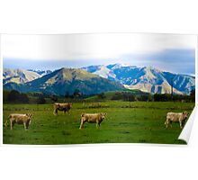 New Zealand Cattle Poster