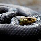 Marsh Snakes (Hemiaspis signata) by Normf