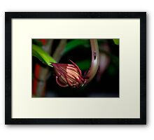 Queen of the night bud. Framed Print
