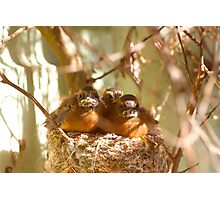 Fantail chicks - feed me! Photographic Print