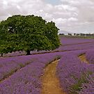 Oak in Lavender - Old tree amidst the new blooms by TonyCrehan