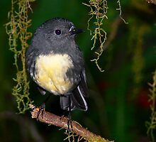 South Island Robin by nzpixconz