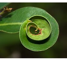 Curly leaf Photographic Print
