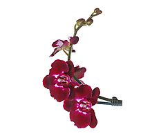 Purple Phaleanopsis Orchid on white background Photographic Print