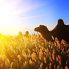 Camels in the beautiful dawn by ArtPhotographer