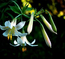 Washington Lily by Charles & Patricia   Harkins ~ Picture Oregon