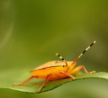 Orange Stink Bug by Edyta Magdalena Pelc
