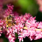 Pink Bee by Josie Eldred