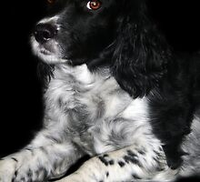 English Springer Spaniel by vicky lewis