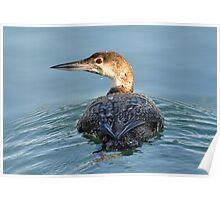 The Common Loon Poster