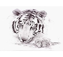 Portraits - Tiger Photographic Print