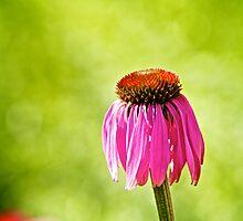 Flower | Daisy by dzulnajmi