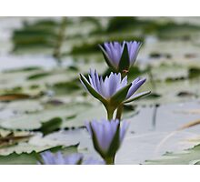 Purple Water Lilies at Rocky Creek Photographic Print