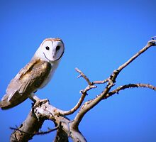 Barn Owl by CircusCharlie