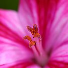 Pelargonium detail by mooksool