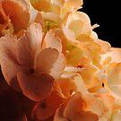 Orange Hydrangeas by Robin Black
