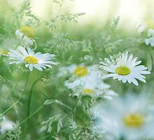 Daisy Patch by shaephotography