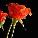 Orange Rose by Robin Black