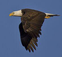 Bald Eagle by craigbregar