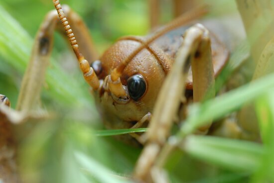 New Zealand Giant Weta by nzpixconz