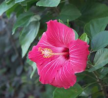 Veined Hibiscus by Bob Hardy